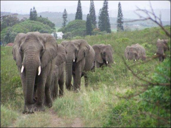 elefánt 2